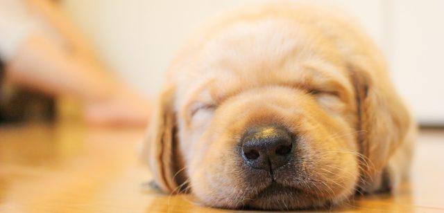 眠そうな犬