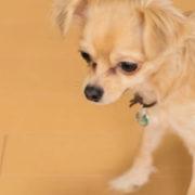 フローリングを歩くチワワ犬