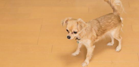 フローリングを歩く犬